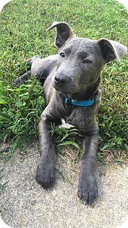 Terrier (Unknown Type, Medium) Mix Puppy for adoption in Richmond, Virginia - SOFIA