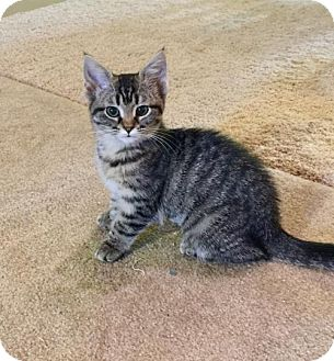 Domestic Shorthair Kitten for adoption in Troy, Illinois - Nadine the Nugget  Fostered (Jamie O)
