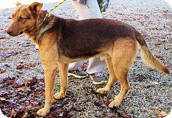 German Shepherd Dog Mix Dog for adoption in Westwood, New Jersey - Rocco