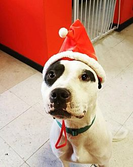 American Staffordshire Terrier Mix Dog for adoption in Whitestone, New York - Leggo