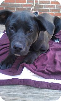 Labrador Retriever/Boxer Mix Dog for adoption in Waldorf, Maryland - Gigi #310