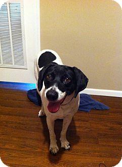 Pointer/Border Collie Mix Puppy for adoption in Richmond, Virginia - Magnolia