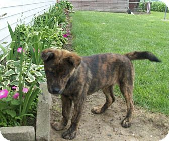 Brindle Boxer Mix Puppies German shepherd dog boxer mixGerman Shepherd Boxer Mix Puppies