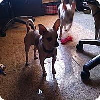 Adopt A Pet :: Peach - Vaudreuil-Dorion, QC