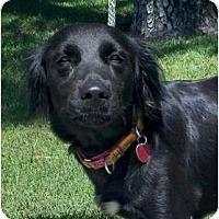 Adopt A Pet :: Belle - Kingwood, TX