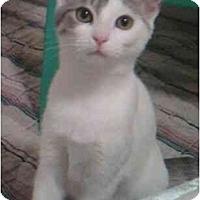 Adopt A Pet :: Arabesque - Reston, VA