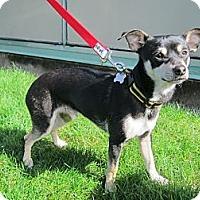 Adopt A Pet :: Ralphie - Gig Harbor, WA