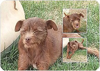 Terrier (Unknown Type, Small) Mix Dog for adoption in San Antonio, Texas - Lexi