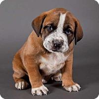 Adopt A Pet :: Comet - Austin, TX