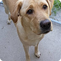 Adopt A Pet :: Halo - Lake Odessa, MI