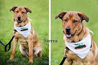 Retriever (Unknown Type)/Mountain Cur Mix Dog for adoption in Rexford, New York - Sierra