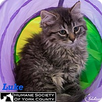 Domestic Mediumhair Cat for adoption in Fort Mill, South Carolina - Luke