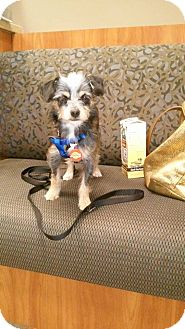 Terrier (Unknown Type, Small)/Yorkie, Yorkshire Terrier Mix Dog for adoption in Newbury Park, California - Shaggy