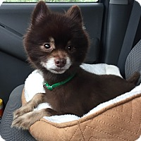 Adopt A Pet :: Jaguar - Waldorf, MD