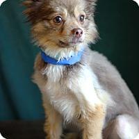 Adopt A Pet :: Cavalier - Waldorf, MD