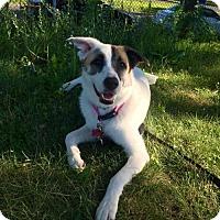 Adopt A Pet :: Pebbles - Rockingham, NH