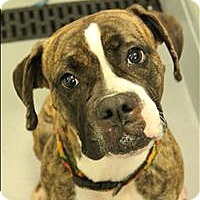 Adopt A Pet :: Roxy - Raleigh, NC