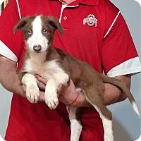 Adopt A Pet :: Shiloh - Gahanna, OH