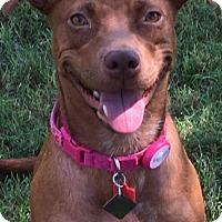 Adopt A Pet :: Cinnamon - Helotes, TX