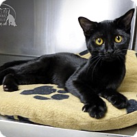 Domestic Shorthair Cat for adoption in Marlinton, West Virginia - Cleopatra