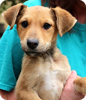 Shepherd (Unknown Type)/Boxer Mix Puppy for adoption in Glastonbury, Connecticut - Bumpkin~adopted!