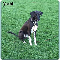 Labrador Retriever Mix Dog for adoption in Elburn, Illinois - Yoshi