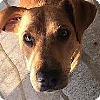 Adopt A Pet :: Ember - Manchester, NH