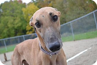 Greyhound Dog for adoption in Chagrin Falls, Ohio - Chex (PDX Cashin Chex)
