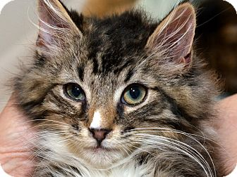 Maine Coon Kitten for adoption in Brooklyn, New York - Phil