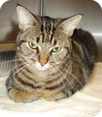 Domestic Shorthair Cat for adoption in Lancaster, Massachusetts - MewMew