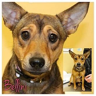 Bellini | Adopted Puppy | Garden City, MI | Dachshund ...