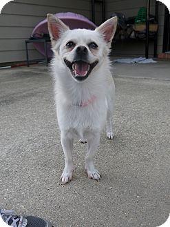 Chihuahua Mix Dog for adoption in Baton Rouge, Louisiana - Mellie
