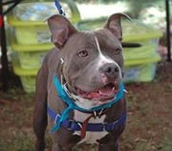 American Pit Bull Terrier/American Staffordshire Terrier Mix Dog for adoption in Harriman, Tennessee - 'G' AKA Gus - MISSING, LOST, or STOLEN