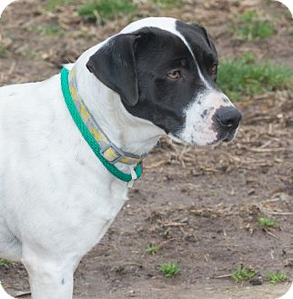 Pointer Mix Dog for adoption in Elmwood Park, New Jersey - Spotlandia