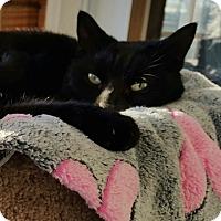 Domestic Mediumhair Cat for adoption in Lexington, Kentucky - Darla