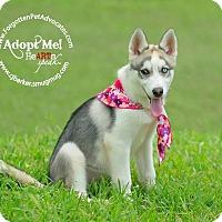 Adopt A Pet :: Sienna - Sugar Land, TX