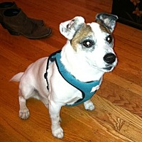 Jack Russell Terrier Dog for adoption in San Francisco, California - Max