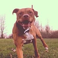 Adopt A Pet :: 50 LB Lap Dog - Roman - Austin, TX
