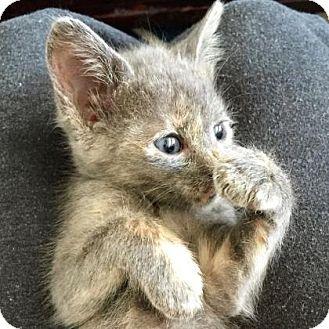 Domestic Shorthair Kitten for adoption in Austin, Texas - Mystic