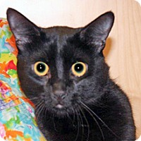 Domestic Shorthair Cat for adoption in Wildomar, California - Prince
