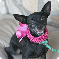 Rat Terrier Mix Dog for adoption in Canoga Park, California - Sasha