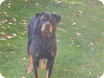 Rottweiler Dog for adoption in Keswick, Ontario - Rex