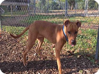Rhodesian Ridgeback/Labrador Retriever Mix Dog for adoption in Urbana, Illinois - HUDSON