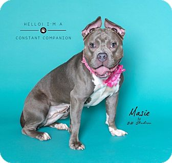 Pit Bull Terrier/French Bulldog Mix Dog for adoption in Houston, Texas - Masie