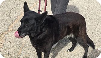Shepherd (Unknown Type) Mix Dog for adoption in Canoga Park, California - Latte