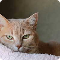Domestic Shorthair Cat for adoption in Boise, Idaho - Snowflake