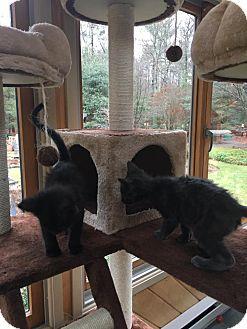 Domestic Shorthair Kitten for adoption in Swansea, Massachusetts - Jake & Josh (BONDED BROTHERS