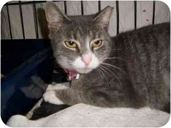 Domestic Shorthair Cat for adoption in Bayonne, New Jersey - Ana