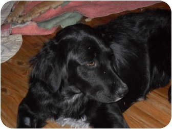 Golden Retriever/Flat-Coated Retriever Mix Dog for adoption in Newport, Vermont - Onyx
