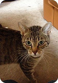 Domestic Shorthair Kitten for adoption in New York, New York - Suli